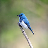Male Ultramarine Flycatcher Royalty Free Stock Photo