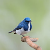 Male Ultramarine Flycatcher Stock Photography