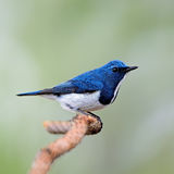 Male Ultramarine Flycatcher Stock Images