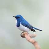 Male Ultramarine Flycatcher. Colorful blue and white bird, male Ultramarine Flycatcher (Ficedula superciliaris) , perching on a branch, side profile Royalty Free Stock Photos