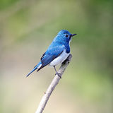 Male Ultramarine Flycatcher Stock Photo
