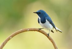 Male Ultramarine Flycatcher Ficedula superciliaris Stock Images
