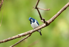 Male Ultramarine Flycatcher (Ficedula superciliaris) Stock Photos