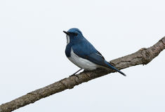 Male Ultramarine Flycatcher (Ficedula superciliaris) Stock Image