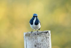 Male Ultramarine Flycatcher (Ficedula superciliaris) Royalty Free Stock Photos