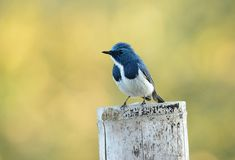 Male Ultramarine Flycatcher (Ficedula superciliaris) Stock Images