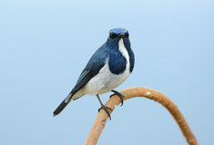 Male Ultramarine Flycatcher (Ficedula superciliaris) Stock Photo