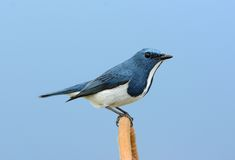 Male Ultramarine Flycatcher (Ficedula superciliaris) Royalty Free Stock Image