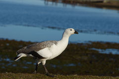 Male Upland Goose Stock Images