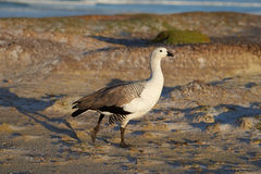 Male Upland Goose Royalty Free Stock Photography