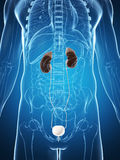 Male urin- system Royaltyfri Foto