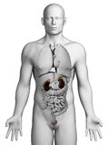 Male Urinary system Stock Images