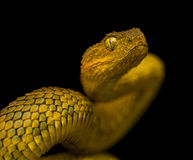 Male variable bush viper Stock Photos