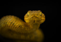 Male variable bush viper Stock Images