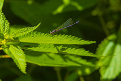 Male Variable Dancer DamselFly on Leaf Stock Photo