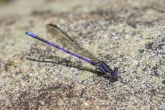 Male Variable Dancer damselfly - Ontario, Canada. Male Variable Dancer damselfly Argia fumipennis perched on a granite rock - Ontario, Canada Royalty Free Stock Photo