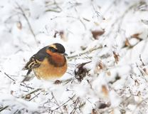A male Varied Thrush Ixoreus naevius on Snowy Branch