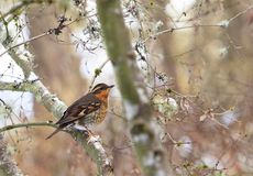 A male Varied Thrush Ixoreus naevius on Tree Branch stock photography