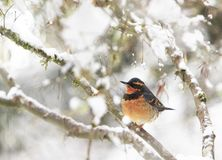 A male Varied Thrush Ixoreus naevius on Tree Branch 2 royalty free stock photo