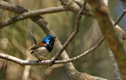 Male Variegated Fairy-wren royalty free stock images