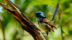 Male Variegated fairywren in Australia stock photos