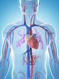 Male vascular system Stock Photo