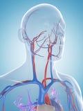 Male vascular system. 3d rendered illustration of the male vascular system Royalty Free Stock Photography