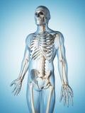 Male vascular system Stock Photography