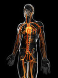 The male vascular system Royalty Free Stock Photography