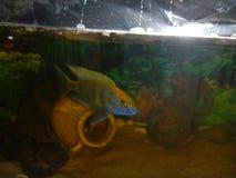 Male Venustus. Male Nimbochromis Venustus from Lake Malawi Royalty Free Stock Images