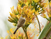 Male Verdin feeding on Century Plant Flowers. A male Verdin feeding on Century Plant flowers at a Phoenix Botanical garden in Arizona Royalty Free Stock Images