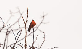 Male vermilion flycatcher bird. A male vermilion flycatcher bird, Pyrocephalus rubinus, perches in a tree at the San Joaquin marsh and wildlife sanctuary Royalty Free Stock Photos