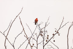 Male vermilion flycatcher bird. A male vermilion flycatcher bird, Pyrocephalus rubinus, perches in a tree at the San Joaquin marsh and wildlife sanctuary Stock Photography