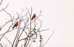 Male vermilion flycatcher bird. A male vermilion flycatcher bird, Pyrocephalus rubinus, perches in a tree at the San Joaquin marsh and wildlife sanctuary Stock Photos