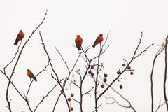 Male vermilion flycatcher bird Royalty Free Stock Images