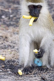 Male Vervet Monkey eating corn sticks. Stock Image