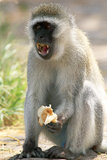 Male vervet monkey eating and displaying teeth. Male vervet monkey (Chlorocebus pygerythrus) eating a piece of bread and displaying teeth, Serengeti National Royalty Free Stock Image