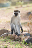 Male vervet monkey on rock in sunshine. A male vervet monkey sits on a rock in a dusty patch of ground with a few tufts of grass on it. He has a black face and Stock Photos