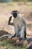 Male vervet monkey scratching himself with foot. A male vervet monkey is about to scratch himself with his foot while sitting on a rock in a dusty patch of Royalty Free Stock Images