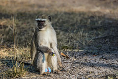 Male vervet monkey sitting on the ground. Male vervet monkey Chlorocebus pygerythrus sitting on the ground. Moremi game reserve, Okavango delta in Botswana Royalty Free Stock Photo