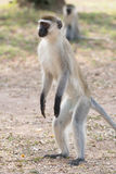 Male vervet monkey standing on hind legs. A male vervet monkey is standing on his hind legs and looking into the distance. He has a black face and paws and grey Royalty Free Stock Photo