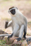 Male vervet monkey about to scratch himself. A male vervet monkey is about to scratch himself with his foot while sitting on a rock in a dusty patch of ground Stock Photo