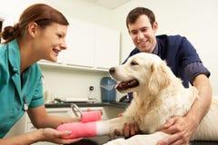 Male veterinär- kirurg som behandlar hunden i kirurgi Royaltyfria Bilder
