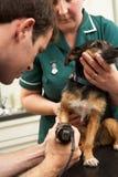 Male veterinär- undersökande hund för kirurg och för sjuksköterska arkivbild