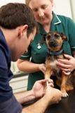Male veterinär- undersökande hund för kirurg och för sjuksköterska royaltyfri bild