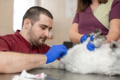 A male veterinarian anesthesiologist makes the procedure for a cat - a catheterization of the bladder. The assistants are holding stock photo