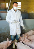 Male veterinarian at pig farm. Male veterinarian in facial mask making injection to domestic pigs on farm Stock Photos
