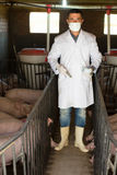 Male veterinarian at pig farm. Veterinarian in white coat is going to make injection with drug to domestic pigs on farm Royalty Free Stock Photo