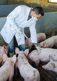 Male veterinarian at pig farm. Male veterinarian in white coat making injection with drug to domestic pigs on farm Royalty Free Stock Photos