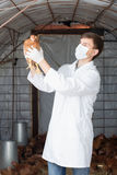 Male veterinarian in white coat  holding brown chicken Royalty Free Stock Images